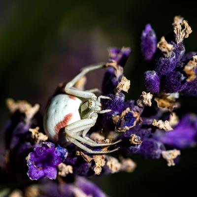 Araignée (2)