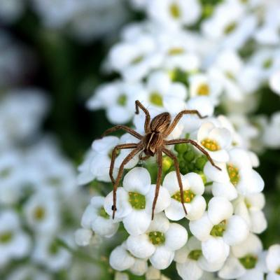 Araignée (3)