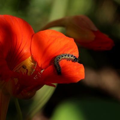 Chenille papillon (1)