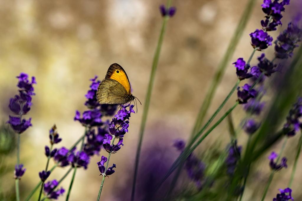 Chenille papillon (4)