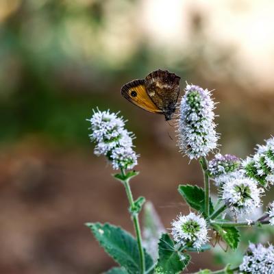Chenille papillon (5)