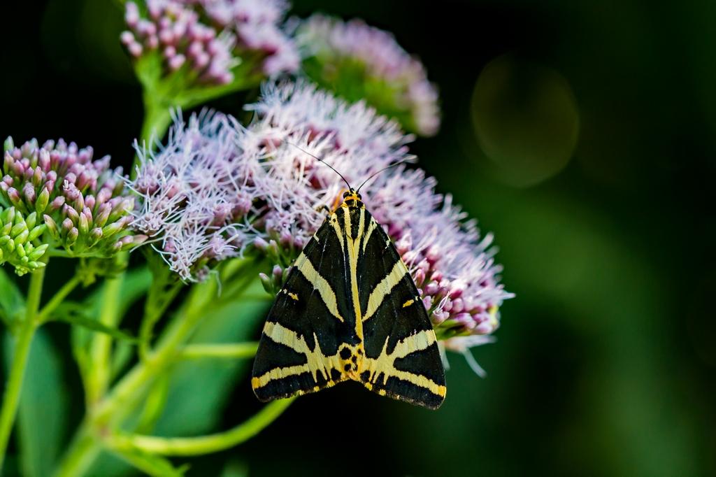 Chenille papillon (6)