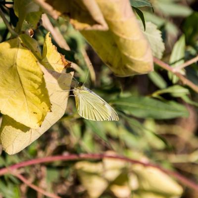 Chenille papillon (7)