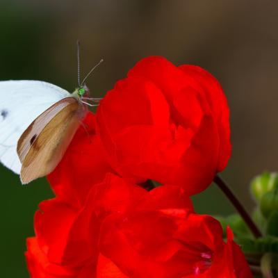 Chenille papillon (8)