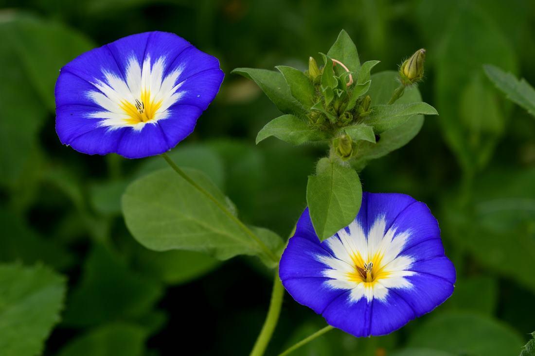 Fleurs bleues (Copier)