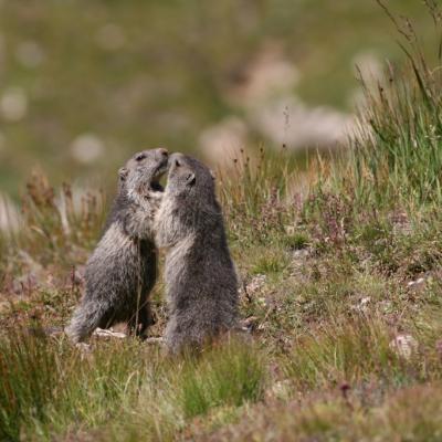 Marmottes à Modane